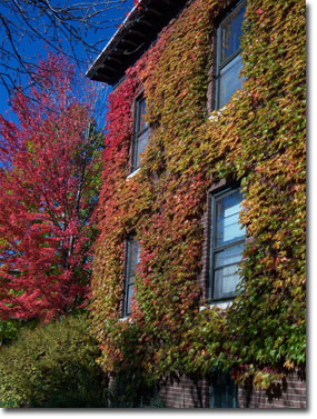 Boston Ivy on a brick apartment building in south Minneapolis. Stunning!