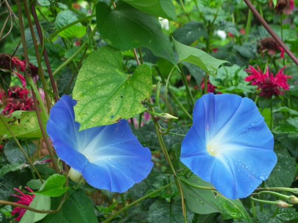 Garden Drama morning glory 'Heavenly Blue'