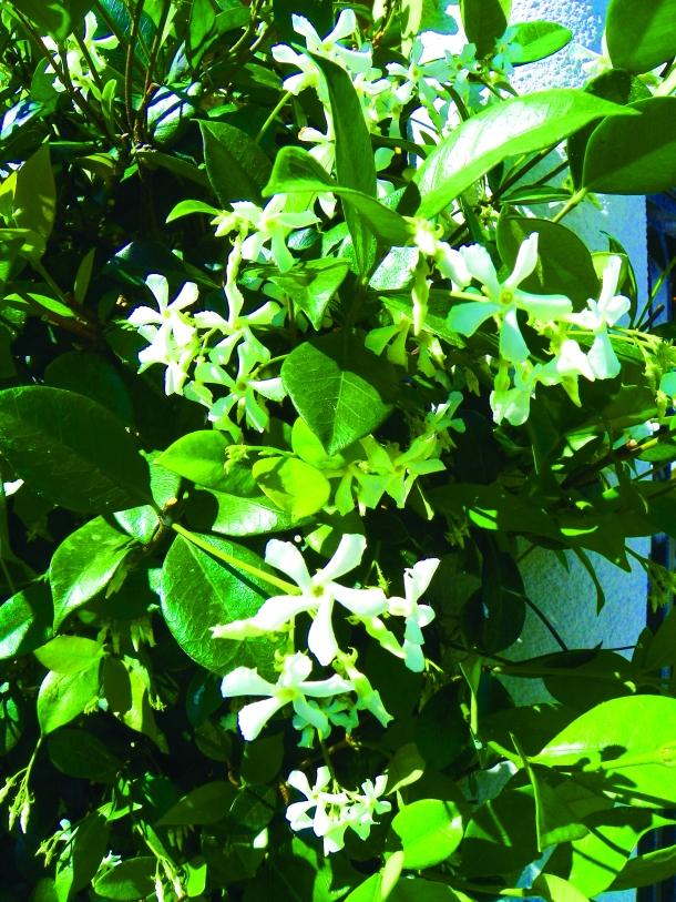 star jasmine vine garden drama