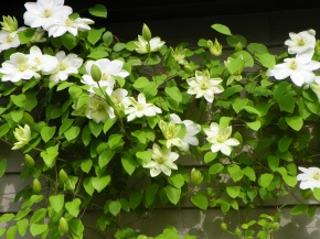 My vote for clematis of the year: 'Guernsey Cream'!