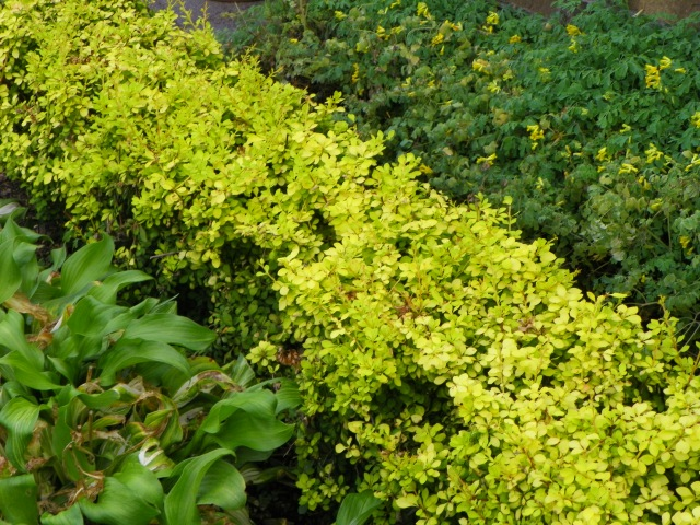 Yellow barberry clipped into a tidy border.