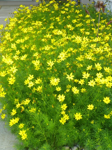 A walk to the front door past a lush stand of 'Moonbeam coreopsis