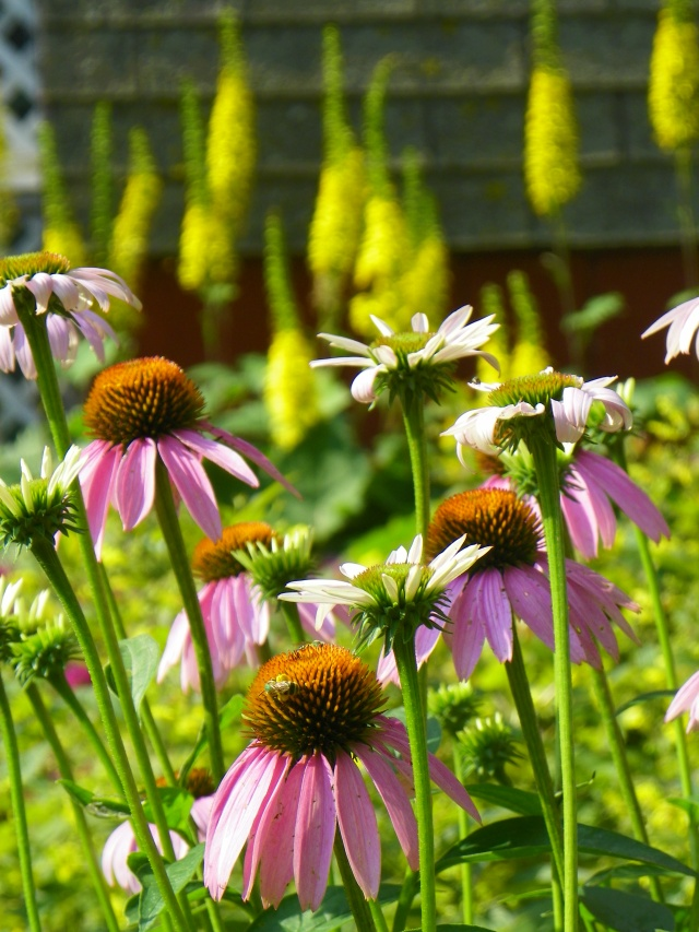 Heidi Heiland coneflower and ligularia