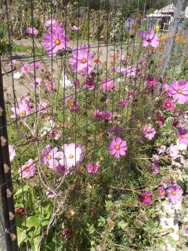 Earthbound Farms cosmos garden drama